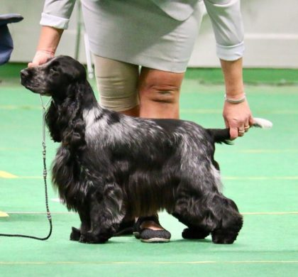 Cocker spaniel CLUB SHOW -18 (Köping)
